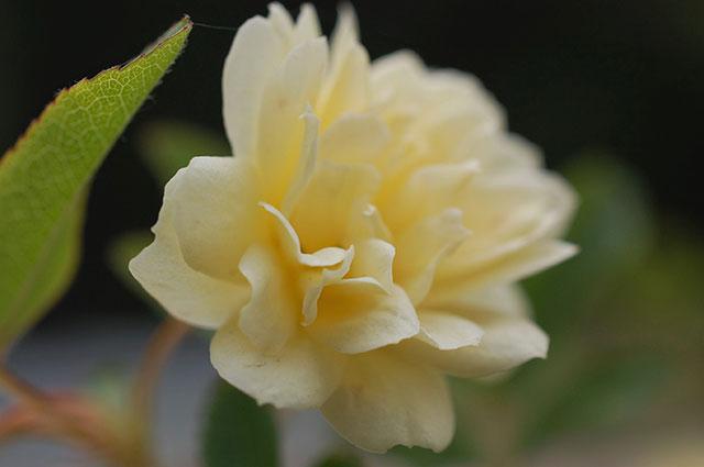 モッコウバラ(八重咲 黄)